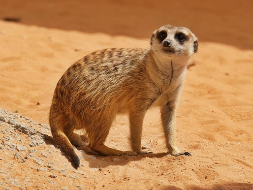 Photos of an Adorable Meerkat in Al Ain Zoo