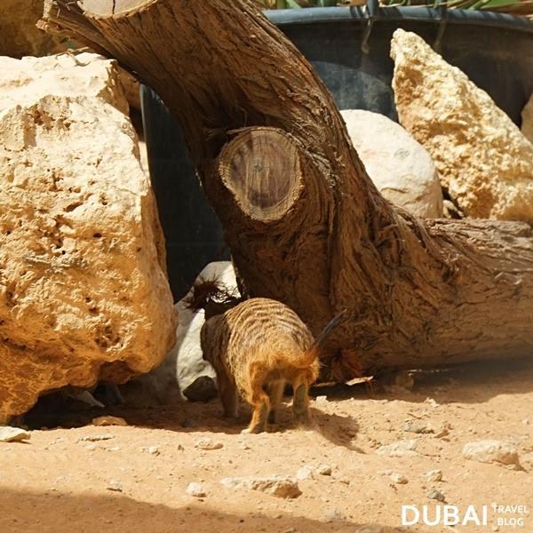 meerkat al ain