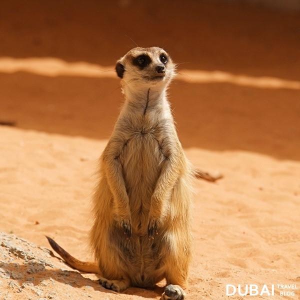 al ain zoo meerkat