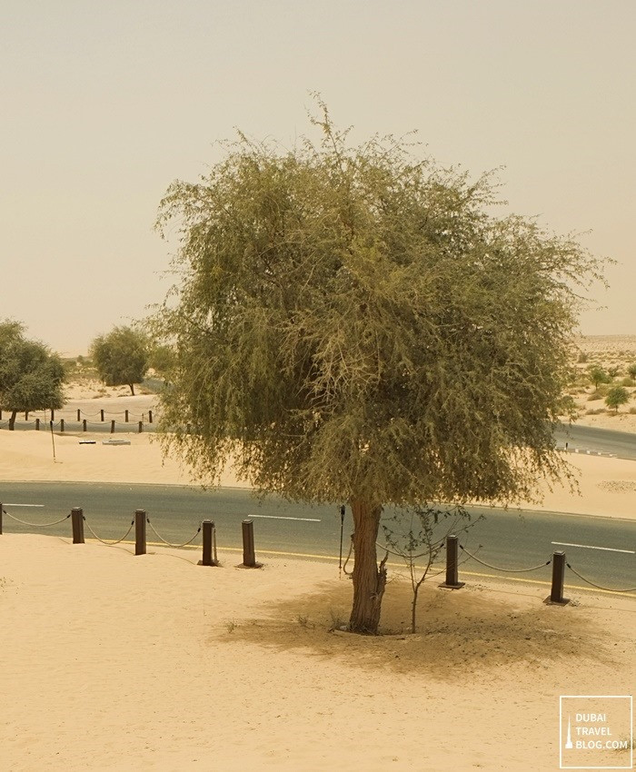 tree outside bab al shams