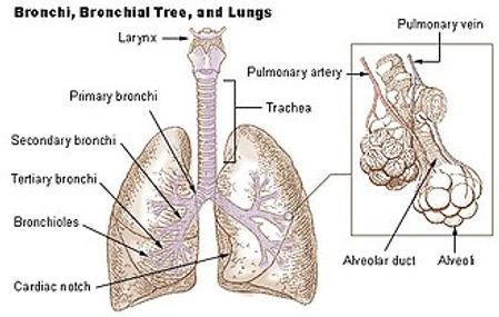 human lung.jpg