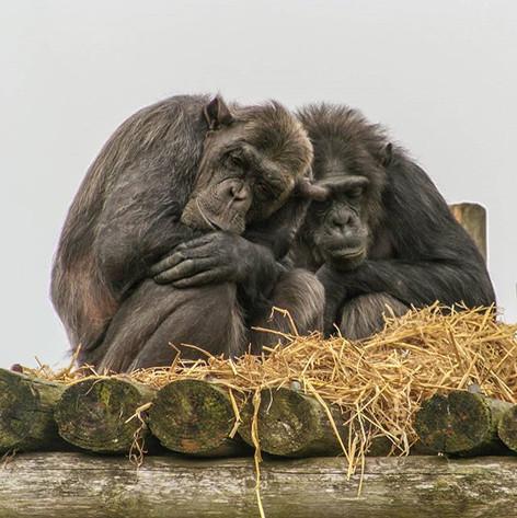 Chimpanzees (Pan troglodytes)