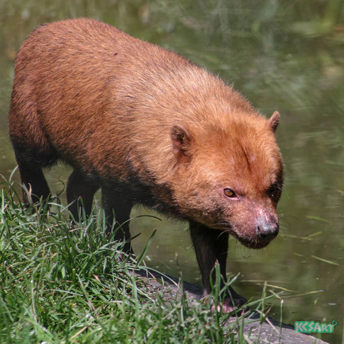 The bush dog is the only living species within it's genus, it's closest genetically related relatives are the maned wolf and wild dog, even though they look more like mini bears than dogs.