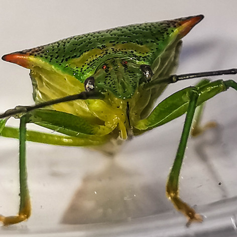Hawthorn shield bug (Ancanthostoma haemorrhoidale)