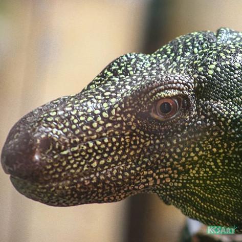 Crocodile monitor (Varanus salvadorii)