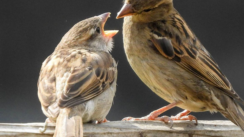 House sparrow feeding fledgling
