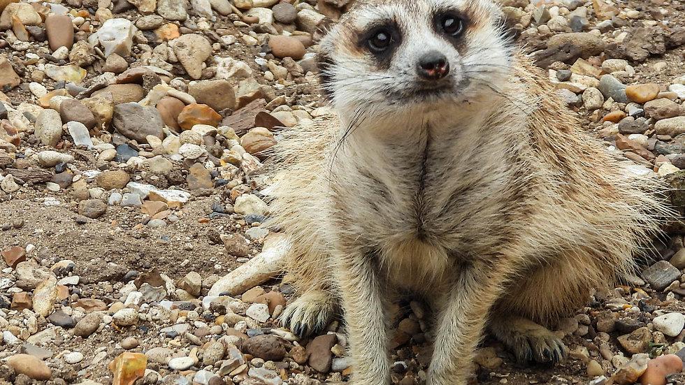 Cute Sitting Meerkat