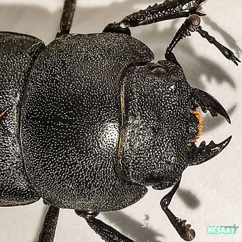 Lesser stag beetle (Dorcas parallelipipedus)
