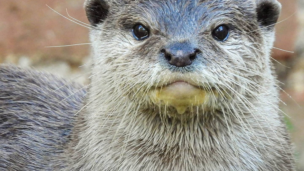 Asian Short Clawed Otter Portrait
