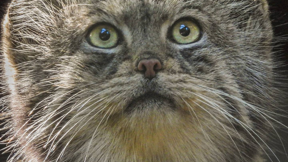 Pallas's cat Portrait