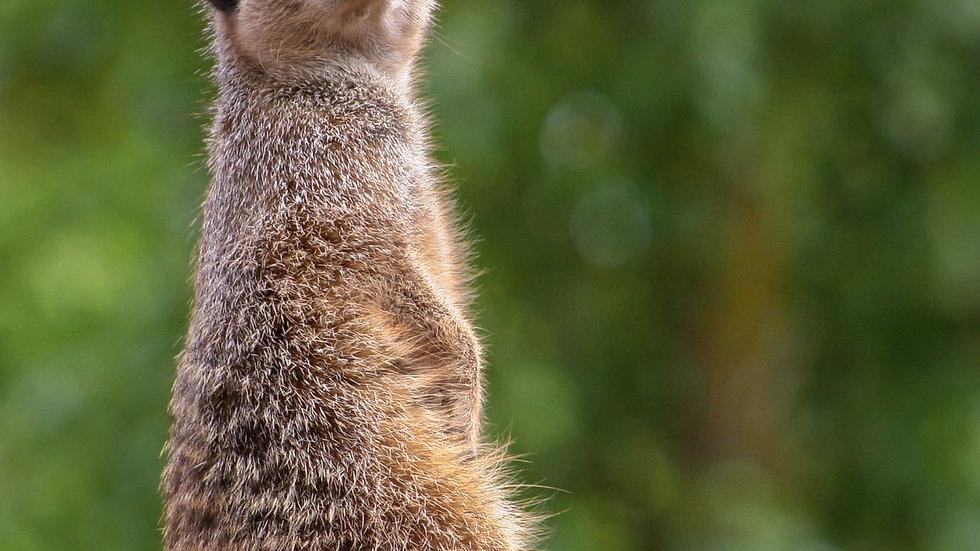 Beautiful Meerkat Shot