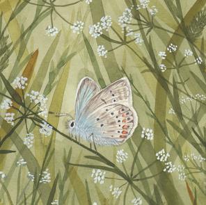Polyommatus-amandus.png