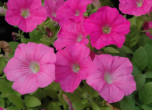 Petunia -rose