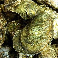 Fresh Cedar Key oysters!
