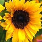 Sunflower-ProCut-Brilliance-150x150.png