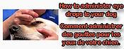 Comment mettre des gouttes dans les yeux de votre chien