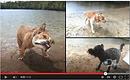 Hawkesbury Chien Infonet, Hawkesbury dog Infonet