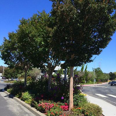 Street Tree Program - Planting Instructions
