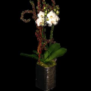 ORCHIDEE LONGILIGNE