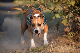american-staffordshire-terrier-3616319_9
