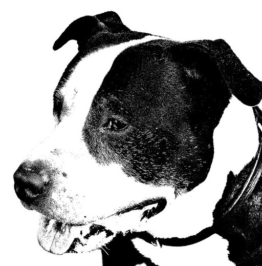 american-staffordshire-terrier-323032_96