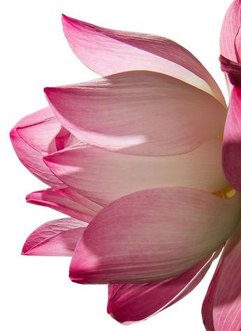 lotus%20watercolor_edited.jpg