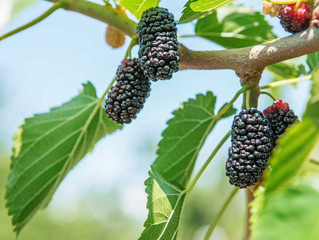 Mulberry Trees, No Thanks