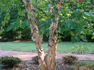 River Birch -- Overused