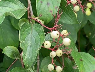 Rough Leaf & Gray Dogwood