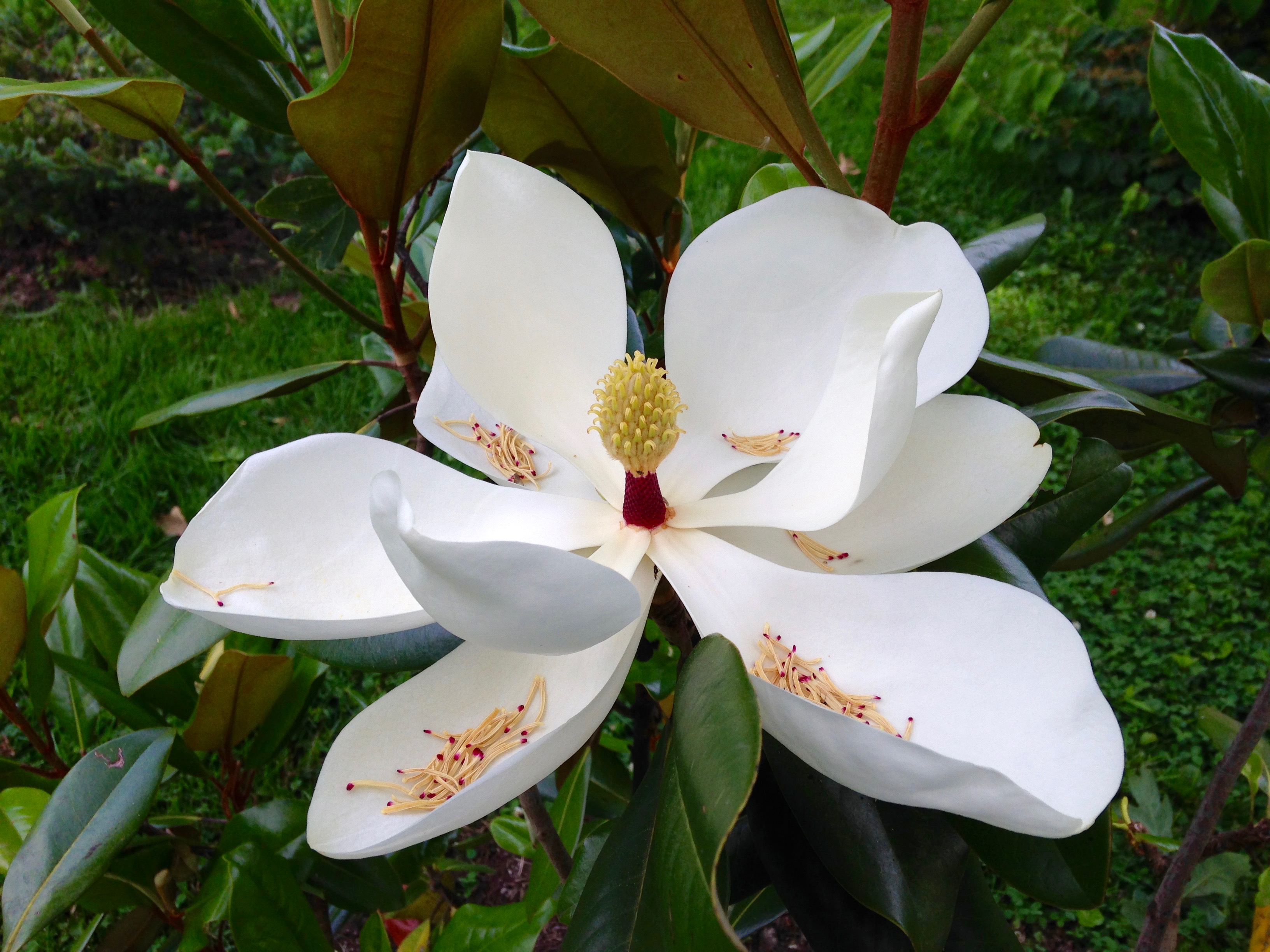 "Southern magnolia ""Edith Bogue'"