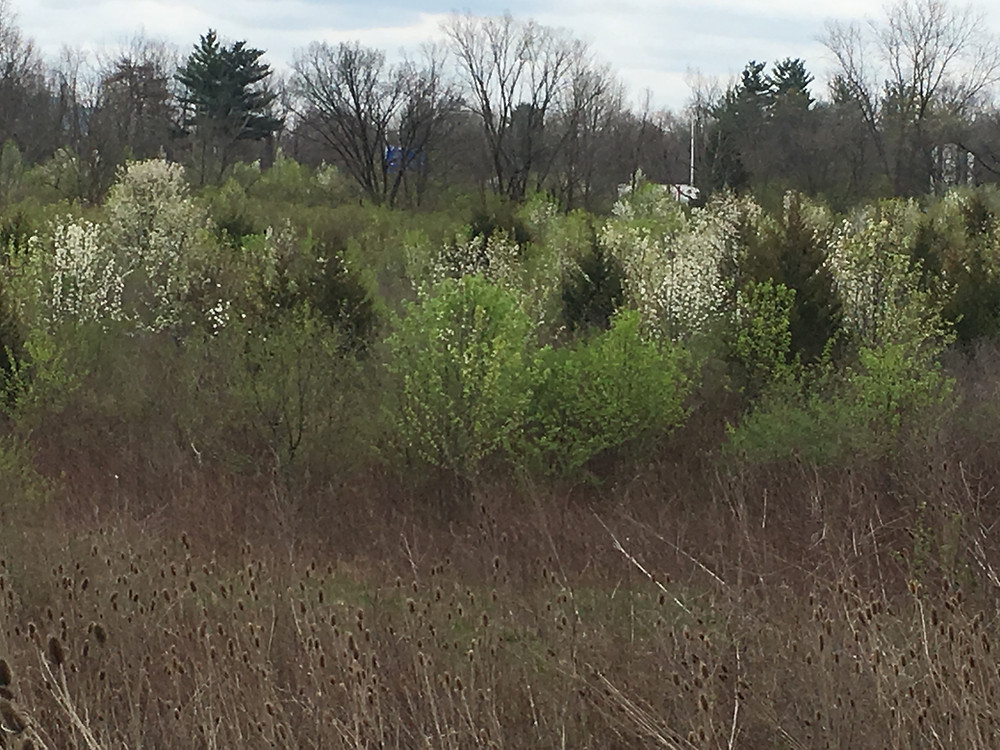 This field along an interstate is in the process of succeeding back to forest, except the succession has been  changed in recent years due to the invasive nature of exotic invasives.  The species in featured in the photo are the usual suspect: ornamental (gallery) pear with white flowers, teasel (fore ground) s