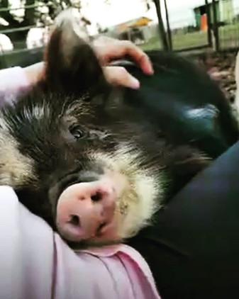 pig snuggles 🤗.jpg