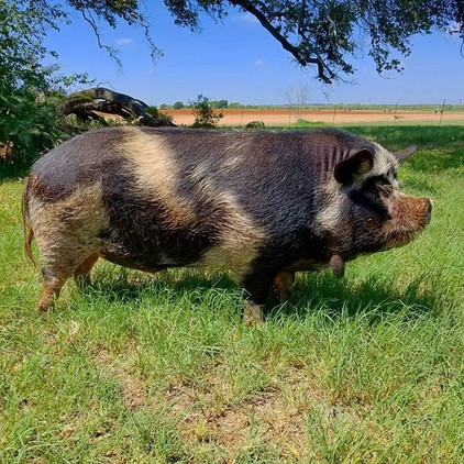 Phineas #kunekune I think it's time for