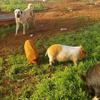 Ziva and her pigs are getting a  new 10a