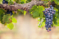 Single bunch of Shiraz grapes on vine.jp