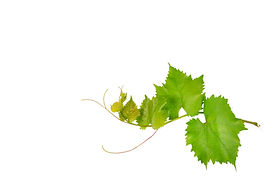Vine and leaves isolated on white backgr