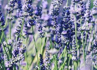 Tending the Soil ... Planting Lavender
