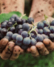 Grapes harvest. Farmers hands with fresh