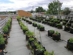 Jardin sur le toit, été 2018