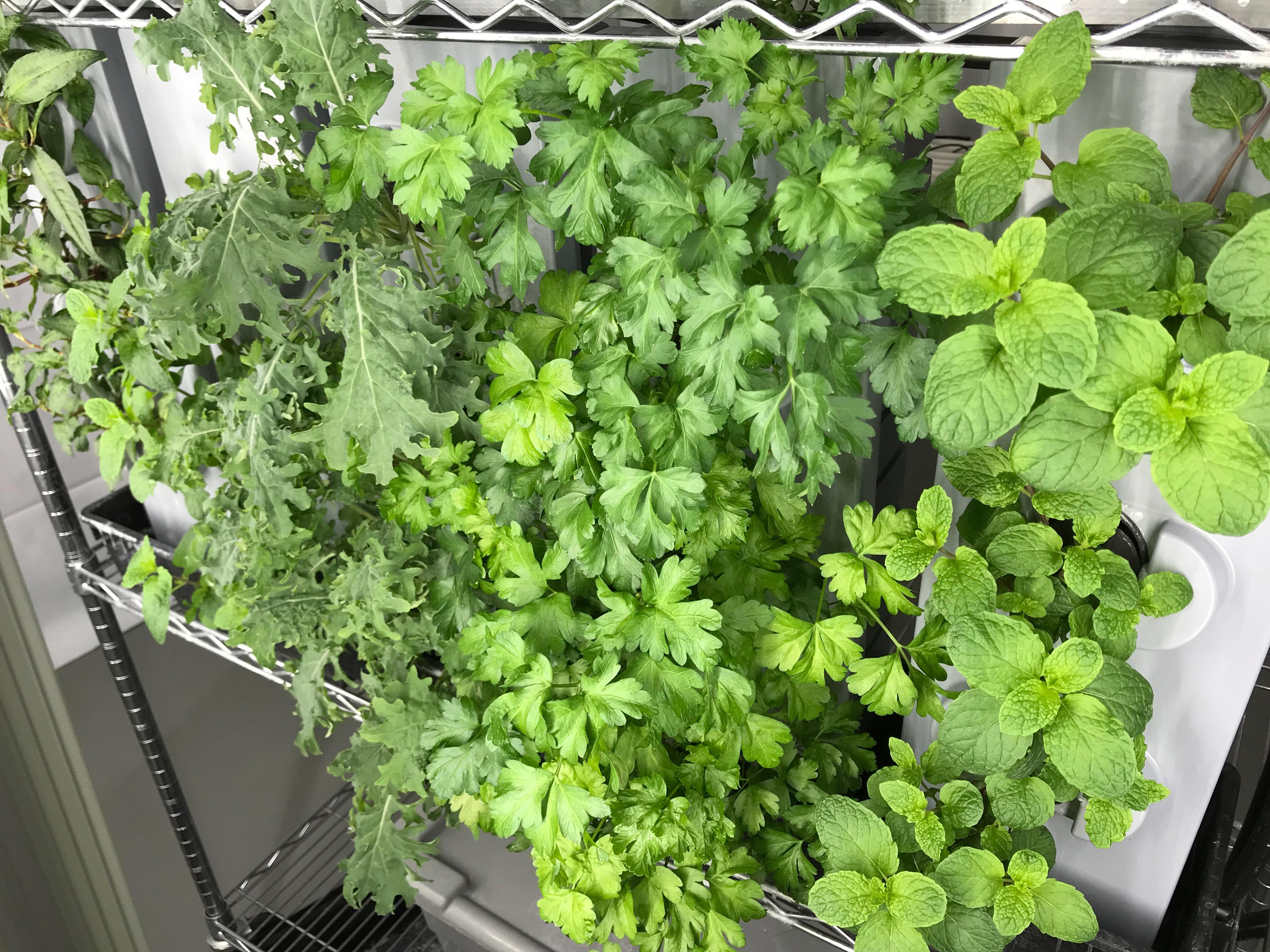 Kale, persil plat & menthe