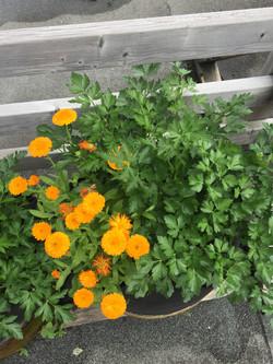 Fleurs de soucis & persil plat