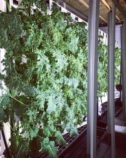 Notre mur de kale