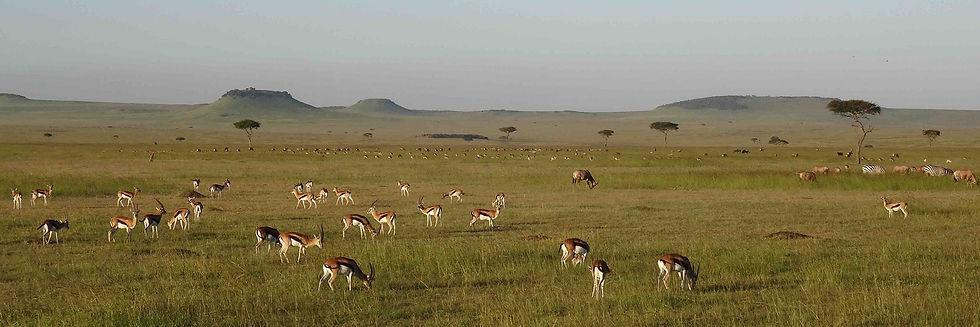 Herds of Thompson gazelle and zebra on the classic East African savanna grassland plains of Maasai land, Tanzania.