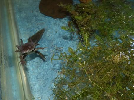 "Axolotl, the ""walking fish"""