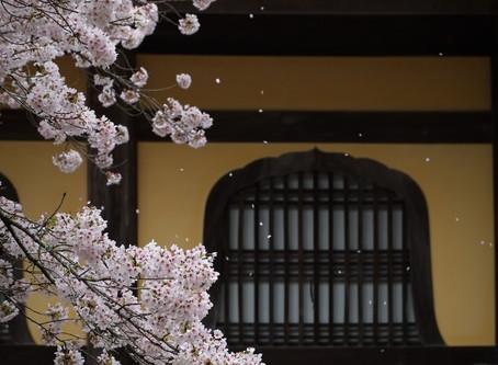 WARAU BLOG (2019年の桜の見所)
