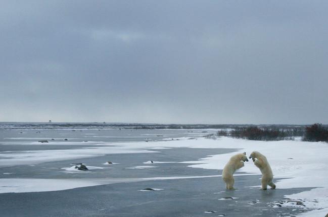 Polar bears sparring