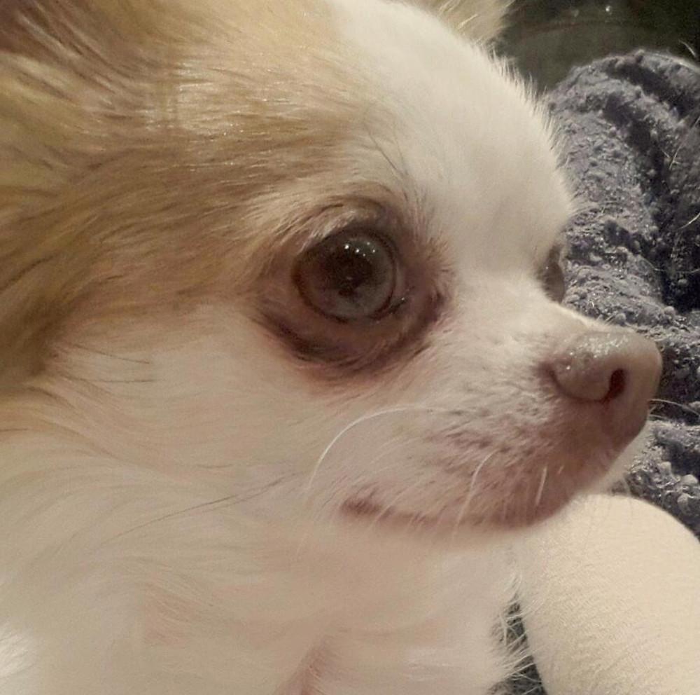 Rafa Capri, Chihuahua Model, Dog Model