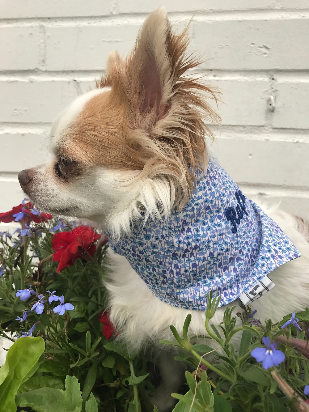 Rafa Capri, Dog Model, Teddy Maximus