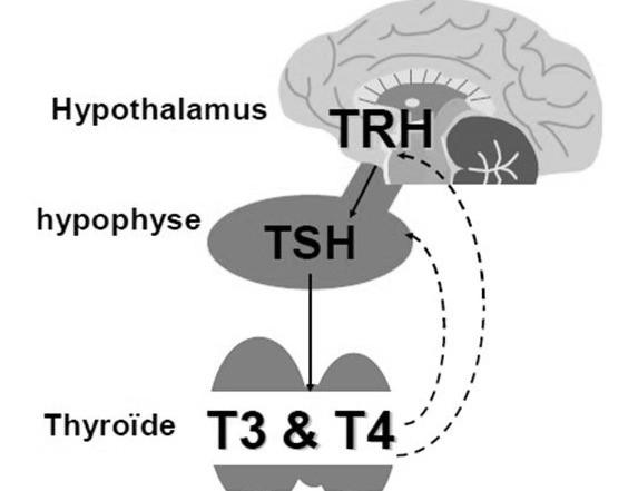 Mécanisme de rétrocontrole des hormones thyroïdiennes..