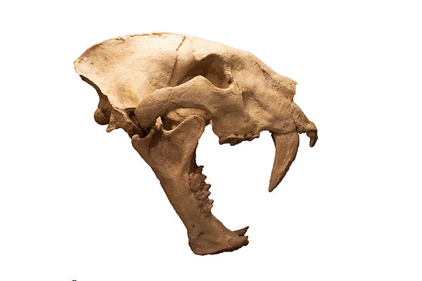 homotherium.jpg